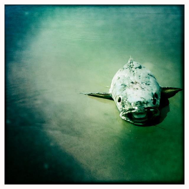 Fish, Ocracoke